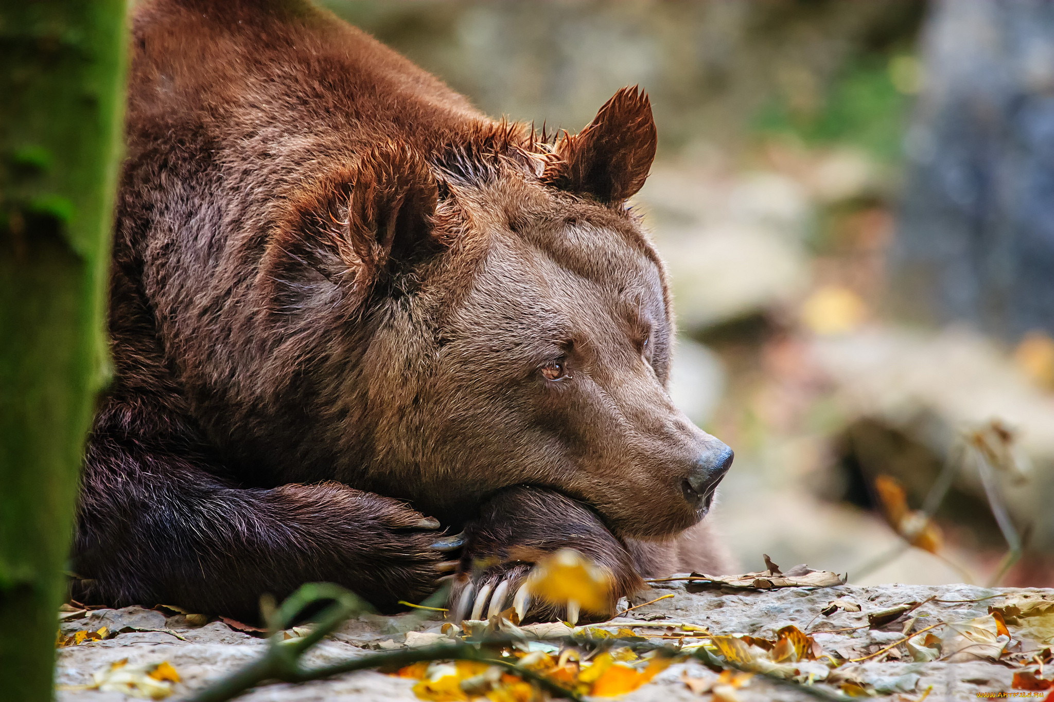 медведи картинки большого формата оригинально